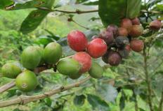 Produção de café deve ultrapassar 50 milhões de sacas em 2012.