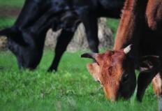 Cotação do boi gordo sobe 6% em um mês no Triângulo Mineiro