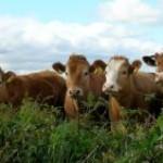 Alegando dificuldade de venda da carne nos patamares atuais de preço, agentes de frigoríficos têm se retraído para as compras ...