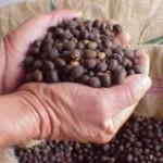 Em agosto, as exportações de café não torrado, em grão, foram superiores ao resultado de julho, segundo dados do Ministério ...