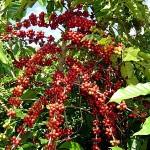 O início da primavera é um período de atenção com o manejo preventivo de doenças do cafeeiro comuns do período. ...