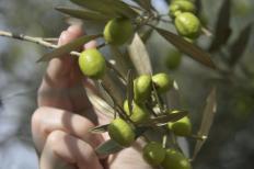 Delfim Moreira é uma das cidades do Sul de Minas que merece destaque na produção do azeite extravirgem. No município, ...