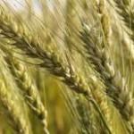 A demanda firme pelo trigo, as dificuldades de importação do produto argentino e as valorizações do dólar têm mantido as ...