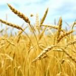 Participando do XX Congresso Internacional do Trigo, nesta última segunda-feira, 21 de outubro, em Ilhéus (BA), o ministro da Agricultura, ...