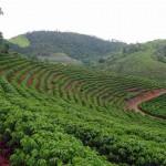 A Terra Forte, uma das maiores exportadoras de café do Brasil, revisou para baixo sua estimativa para a produção nacional ...
