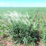 Segundo especialistas, as plantas daninhas serão o grande desafio da agricultura no futuro. O problema já vem sendo diagnosticado em ...
