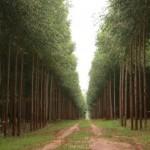 O preço pago ao produtor de eucalipto vem caindo nos últimos anos. Desde 2008, a desvalorização já chegou a 40%. ...