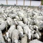 Confira os índices do Boletim Agronegócio.net desta quinta-feira, 09 de janeiro de 2014. Boi Os preços do boi gordo seguem ...