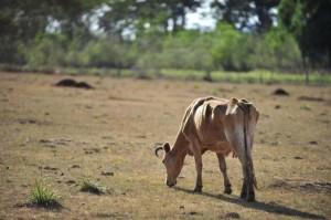 Com pouca chuva no mês de janeiro, as pastagens secaram e afetaram a dinâmica de engorda do gado, principalmente nas regiões sul, sudeste e nordeste do país, somado a esse fator, o calor afeta drasticamente o metabolismo dos animais, o ...