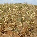 A falta de chuvas e o calor excessivo já causaram perdas de pelo menos 45% na safra de soja, segundo ...