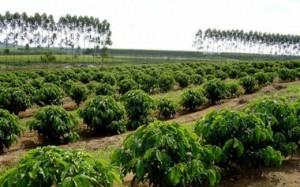 As mudanças climáticas têm causado alterações nas fases de reprodução e de desenvolvimento de várias culturas agrícolas, entre elas o milho, trigo e café. Os impactos dessas alterações já se refletem na queda da produtividade no setor agrícolas do Brasil. ...
