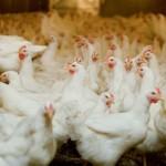 Os resultados da indústria avícola do Paraná em 2014 permitem a criação de uma nova expressão para simbolizar um crescimento ...