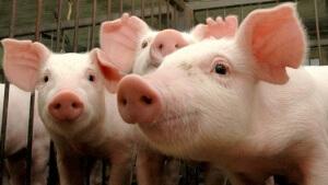 Carne suína in natura
