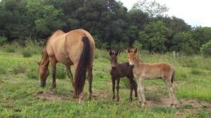 Cavalos gêmeos da raça crioula
