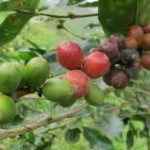 A produção de café no Brasil da safra 2012 deve chegar a 50,48 milhões de sacas beneficiadas. O resultado é ...