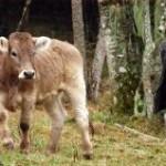 Em grande parte das propriedades brasileiras que produzem leite, os pecuaristas usam gado holandês ou girolando, predominantes em nosso país. ...