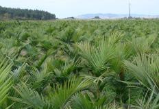 Cresce o cultivo de palmito pupunha na região do Vale do Ribeira, em São Paulo. De acordo com a Coordenadoria ...