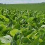Os produtores brasileiros devem migrar do arroz para a soja e o milho, que atualmente estão oferecendo retornos maiores, projetou ...