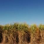 O governo federal pretende aumentar o cultivo de sorgo sacarino em rotação com a cana-de-açúcar para 100 mil hectares a ...