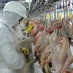 As cotações da carne de frango negociada no atacado enfraqueceram nos últimos dias na maioria das regiões acompanhadas pelo Cepea, ...