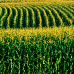 Exportação em Setembro bate recorde segundo Secex Os preços do milho registraram oscilações distintas entre as regiões acompanhadas pelo Cepea, ...