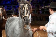Em expansão nos último anos, o mercado para o cavalo crioulo no Brasil deve crescer ainda mais em 2013, segundo os representantes do setor. O resultado do último leilão da cabanha São Rafael, de Balsa Nova (PR), que faturou R$ ...