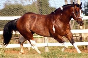 De acordo com a Associação Brasileira de Criadores de Cavalo Quarto de Milha (ABQM), somente neste ano foram arrecadados R$ 170 milhões de faturamento em leilões e registro de mais de 18 mil animais em todo o país, além disso ...
