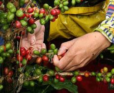 """O Banco Central (BC) autorizou a renegociação de parcelas de financiamentos rurais vinculadas a lavouras de café arábica. A decisão foi publicada no Diário Oficial da União (DOU) desta semana. A partir de agora """"fica autorizada, a critério da instituição ..."""
