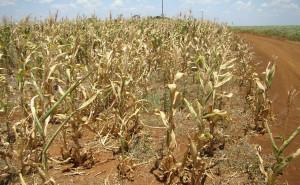 A falta de chuvas e o calor excessivo já causaram perdas de pelo menos 45% na safra de soja, segundo a Secretaria de Agricultura e Abastecimento do Estado de São Paulo. Dos 29,9 milhões de sacas de 60 quilos previstos, ...