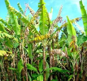 A Organização das Nações Unidas para a Agricultura e Alimentação (FAO) alertou para uma potencial e massiva destruição da produção de bananas diante de uma doença que se espalha da Ásia para a África e o Oriente Médio. A FAO ...
