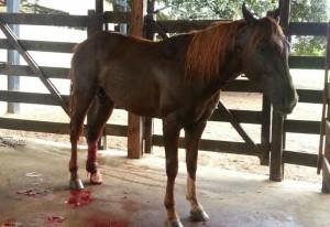 Os acidentes envolvendo cavalos e cercas de arame liso estão se tornado muito comum em haras e fazendas de todo o Brasil. Os acidentes mais graves acontecem nas cercas de arame liso, que é menos apropriado para a criação de ...