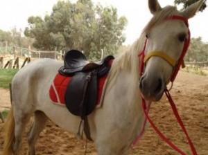 Já aconteceu de você usar uma roupa ou um calçado que ficasse incomodando, machucando em algum lugar? É mais ou menos isso que acontece quando um cavalo precisa colocar a cela ou o arreio e está com pisadura. Segundo o ...