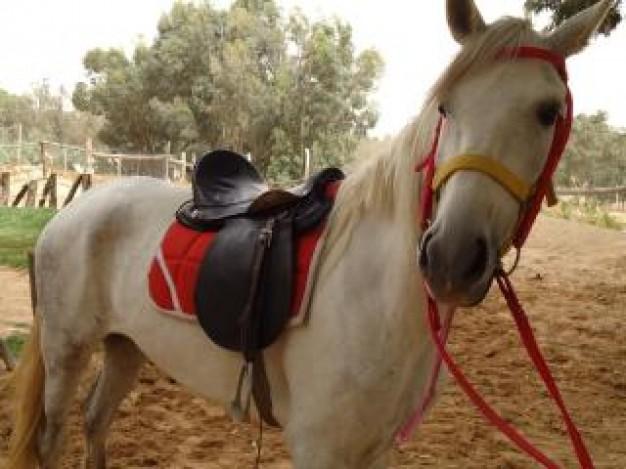 Saiba como evitar e tratar a pisadura em cavalos