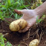 Três cultivares de batata desenvolvidos pelo Instituto Agronômico (IAC), de Campinas (SP), foram expostos na Agrishow 2014. A novidade deste ...