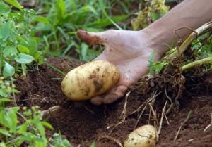 Três cultivares de batata desenvolvidos pelo Instituto Agronômico (IAC), de Campinas (SP), foram expostos na Agrishow 2014. A novidade deste ano foi mostrar os materiais plantados em sistema orgânico, em vasos. Os estudos estão sendo realizados por pesquisadores do IAC ...
