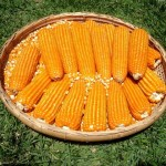 Foi apresentada em São Paulo a primeira semente orgânica de milho produzida no Brasil. Com a promessa de produtividade e ...