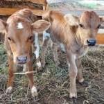 O custo de bezerro que não sobreviveu ao parto pode sair mais alto do que os gastos com uma vaca ...