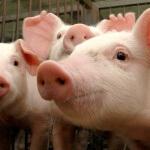 Com exportação recorde, cotação interna do suíno segue em forte alta