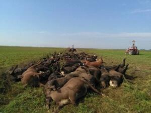 Animais se amontoam para fazer sombra uns aos outros e morrem de calor na Argentina